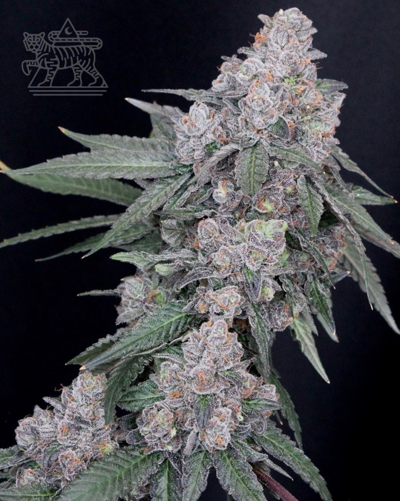 Notes of fruit and fuel wafts off Apples and Bananas. Bred by Compound Genetics for Cookies brand stores. (Courtesy Apples and Bananas)